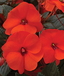 Impatiens, SunPatiens Hot Coral, , large